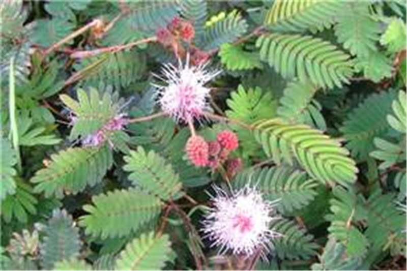 Factsheet Mimosa Pudica Common Sensitive Plant