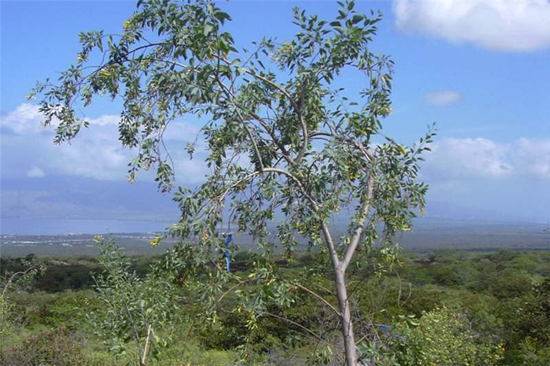 Factsheet Nicotiana Glauca Tree Tobacco