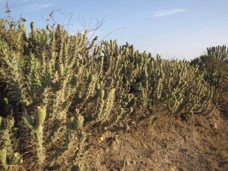 Factsheet Opuntia Exaltata Long Spine Cactus