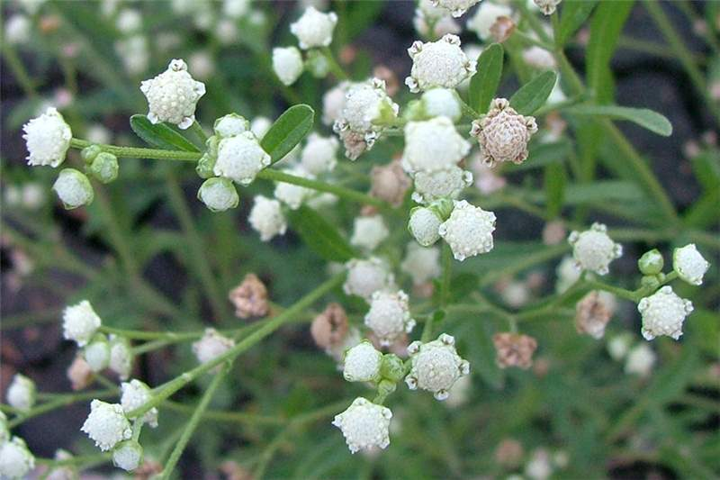 White Small Flowers Plant Flower Inspiration