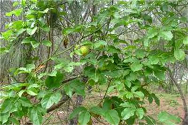 Factsheet passiflora edulis passion fruit