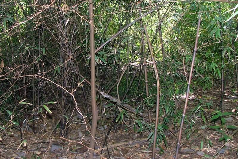 Infestation In Riparian Vegetation Photo Sheldon Navie Phyllostachys Nigra Black Bamboo