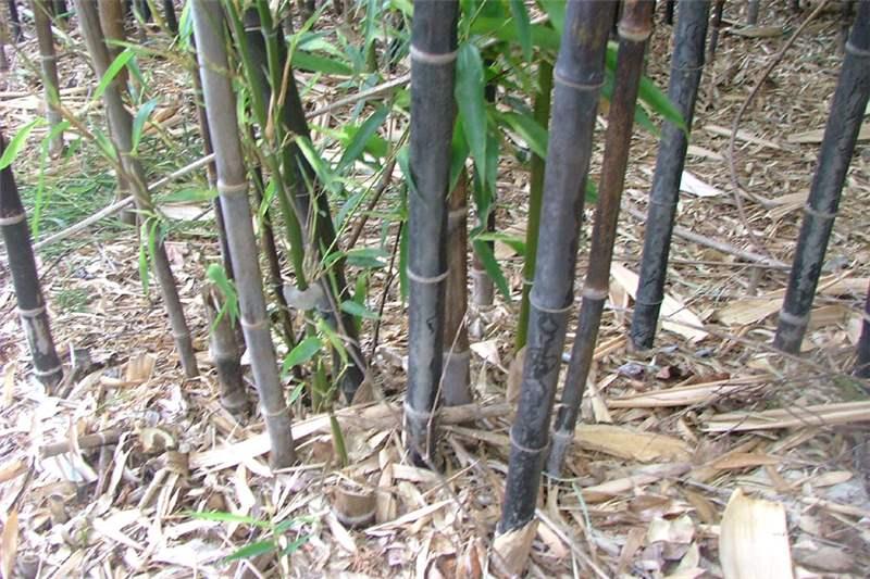 More Robust Stems Of Older Plants Photo Sheldon Navie
