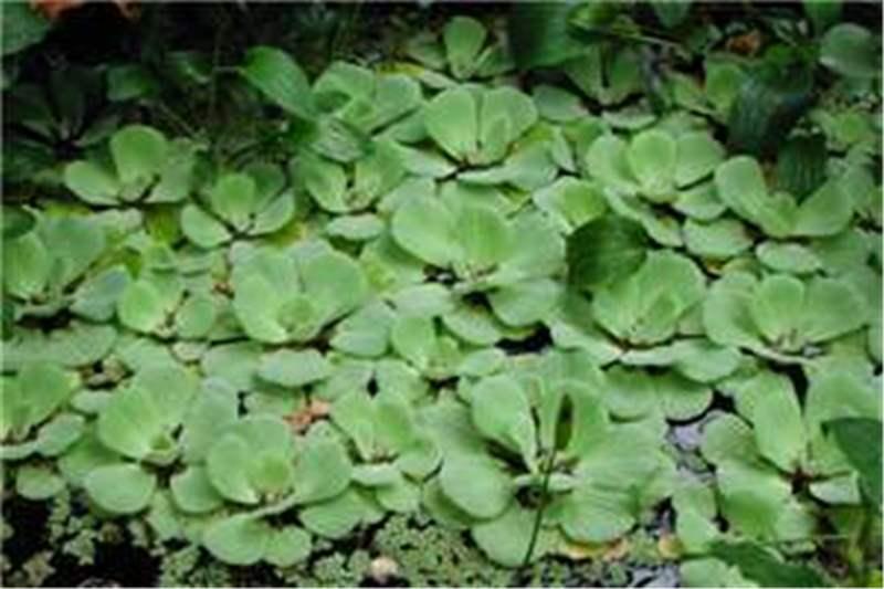 Water Lettuce