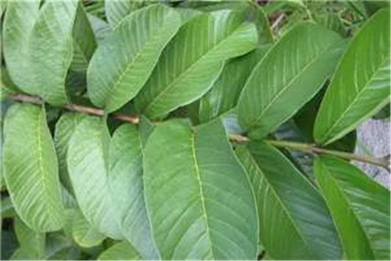 Factsheet Psidium Guajava Guava