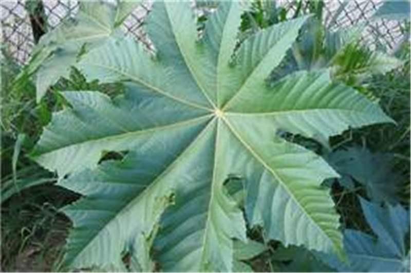 Factsheet Ricinus Communis Castor Oil Plant