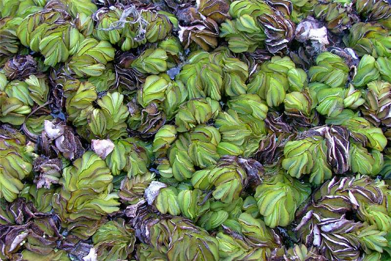 characteristics of the plant salvinia molesta Salvinia molesta is an aquatic plant that grows rapidly and it has been used in animal  on performance and carcass characteristics of cobb broiler.