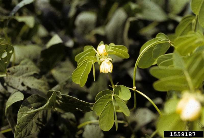 The University Of Southern Mississippi >> Factsheet - Senna obtusifolia (Sicklepod)