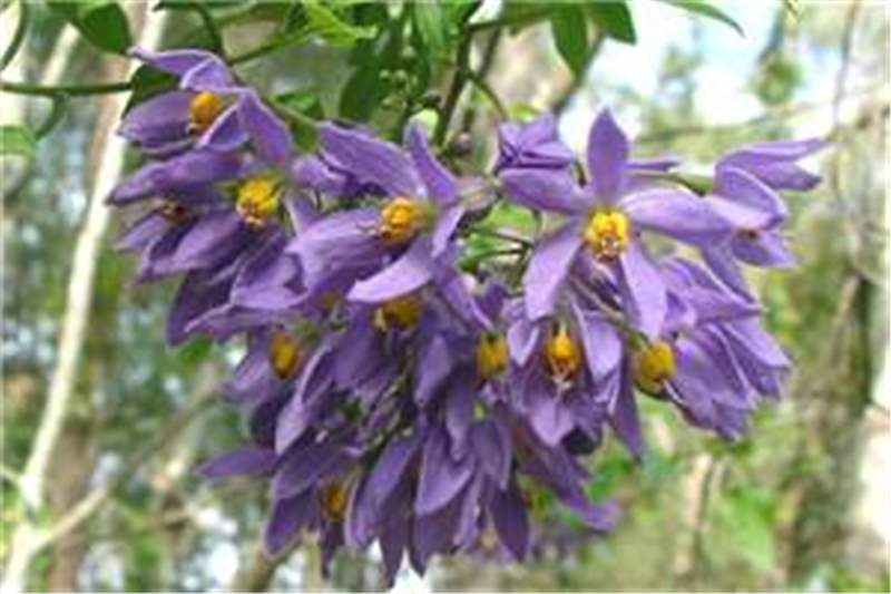Factsheet - Solanum seaforthianum (Brazilian Nightshade)
