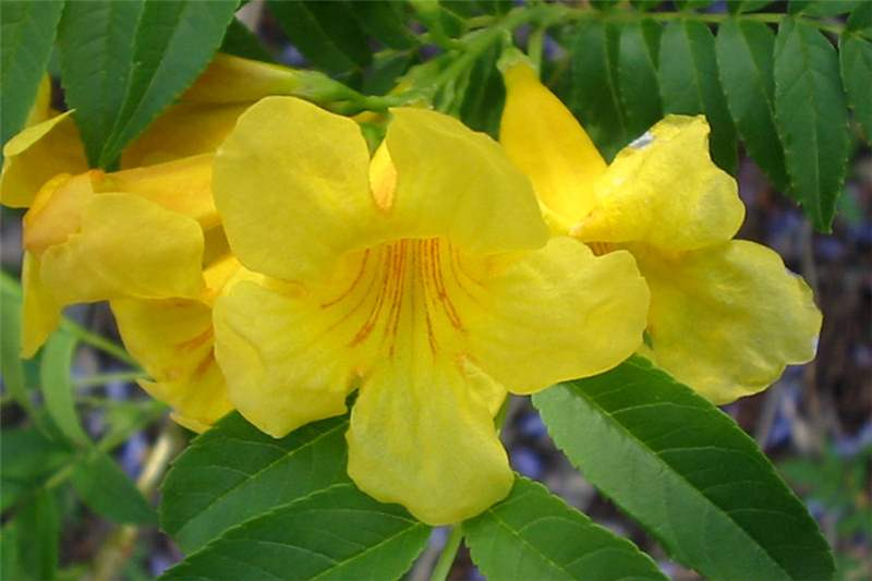 Factsheet Tecoma Stans Yellow Bells