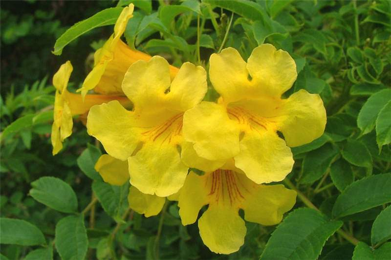 Factsheet Tecoma Stans Yellow Bells