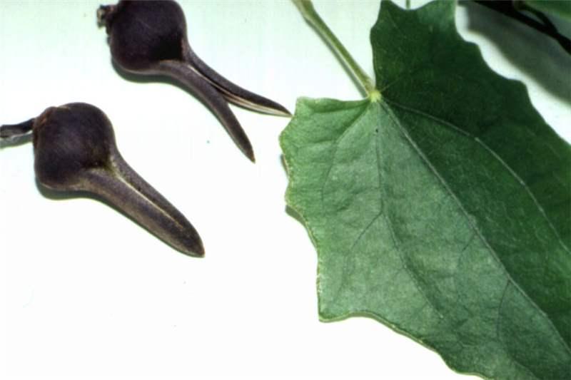 Factsheet - Thunbergia grandiflora (Blue Thunbergia)