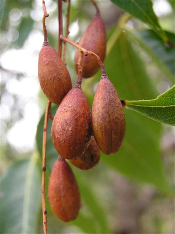 Factsheet toona ciliata toon tree