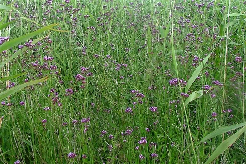 Factsheet Verbena Bonariensis Purple Top