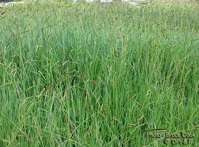 Factsheet brunswick grass for Like long grasses