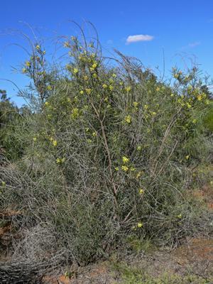 Factsheet Acacia Iteaphylla