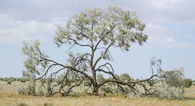 Factsheet Acacia Pendula